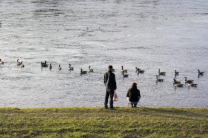 Wildgänse auf dem Rhein