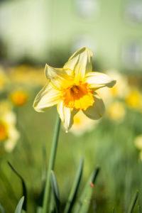 Nahaunahme einer gelben Blume im Frühjahr