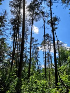 Hohe Bäume und blauer Himmel im Hardtwald