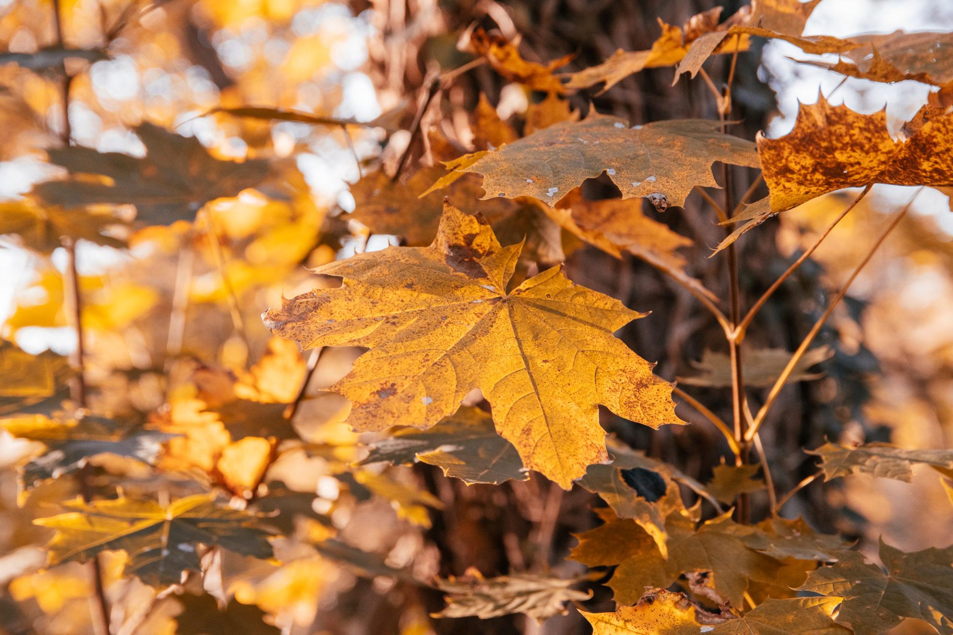 Buntes Herbstlaub am Baum im Karlsruher Oberwald