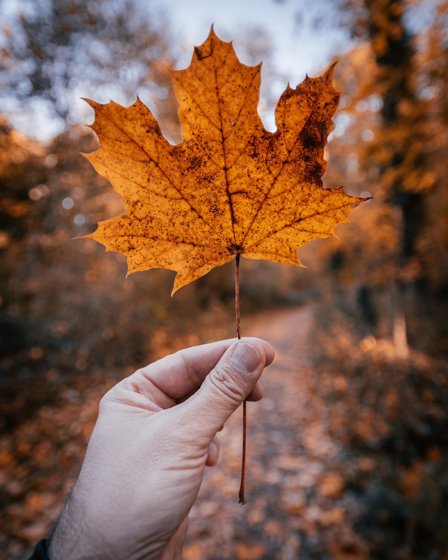 Herbstliche Ahornblatt wird vor die Kamera gehalten